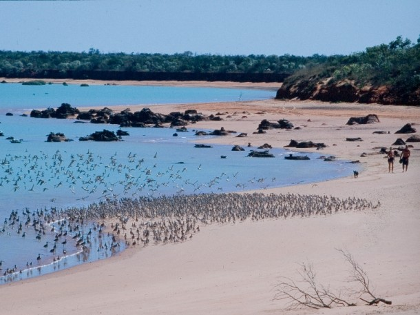 Migratory Shorebirds are too often disturbed when resting in flocks at high water, which is a management issue if these remarkable international travellers are going to continue making their epic migrations to Roebuck Bay.