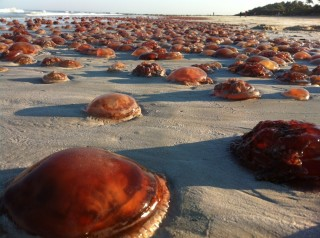 Blooms of jellyfish (sea tomatoes) are occurring more frequently along the WA coast? James Brown